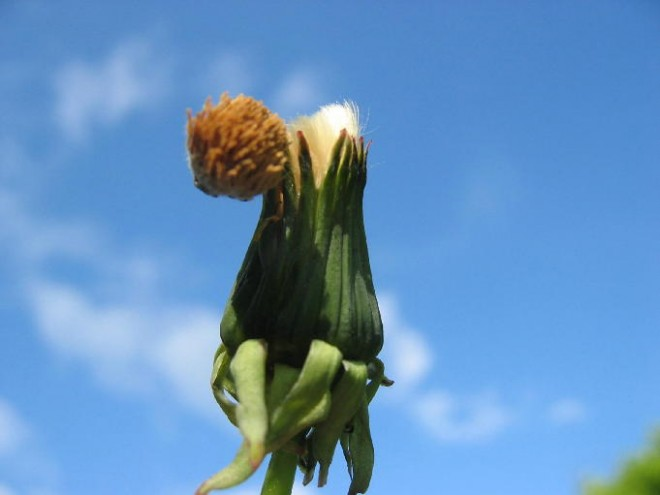 Löwenzahn in Veränderung - Wandel: Foto einer Löwenzahlblume, die gerade verblüht ist. Es beginnt die Phase, in der die Blume ihre Samen ausbreitet und sich wieder öffnet.